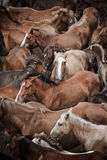 Wild horses. Herd of wild horses, ready to tame, in Galicia, Spain Stock Photography