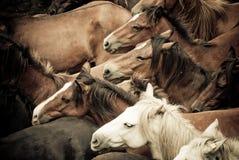 Wild horses. Herd of wild horses, ready to tame, in Galicia, Spain Stock Photo