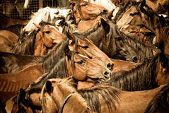 Wild horses. Herd of wild horses, ready to tame, in Galicia, Spain Royalty Free Stock Photography
