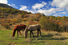 Wild horses. In the mountain Stock Photography