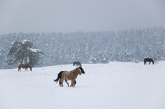 Wild horses. In the snowy winter mountains Stock Photo