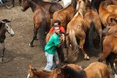 Wild horses. PONTEVEDRA - AUGUST 2: A horseman riding between wild horses in a traditional celebration Rapa das Bestas on 2 August 2009 in Viascon, Pontevedra Royalty Free Stock Photography