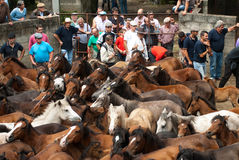 Wild horses. PONTEVEDRA - AUG 2: Numerous audience watches wild horses in a traditional celebration Haircut the beasts on August 2, 2009 in Pontevedra, Spain Royalty Free Stock Photos