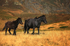 Wild horses. In Central Balkan National Park(Stara planina mountain royalty free stock photos