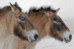 Wild horses. Portrait of wild horses. Snow on the background Stock Photos