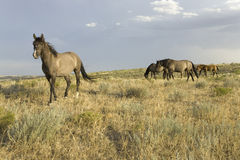 Wild horses Royalty Free Stock Photo