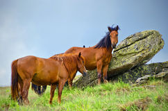 Wild horses. On a mountain pasture in  a cloudy day Royalty Free Stock Images