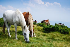 Wild horses. A flock of wild horses running free in the mountains. At high altitudes the grass stays green throughout the year, and the horses have good food royalty free stock photo