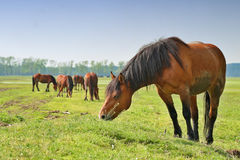 Wild horses Stock Images