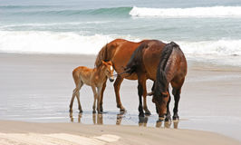 Wild Horses. Three wild horses on a beach by the ocean royalty free stock image