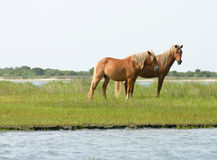 Wild Horses. Wild hoses on the Shackleford Banks in the outer banks of North Carolina royalty free stock images