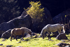 Wild horses. Three nice wild horse in mountain Stock Images