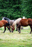 Wild horses. A pack of horses in the meadow Royalty Free Stock Image