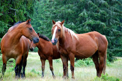 Wild horses. A pack of horses in the meadow Stock Images