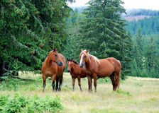 Wild horses. A pack of horses in the meadow Stock Photos
