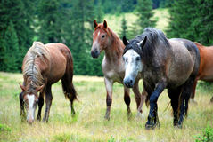 Wild horses. A pack of horses in the meadow Stock Photo