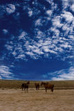 Wild horses Royalty Free Stock Photos