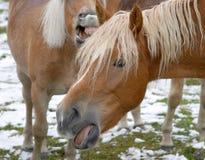 Wild horses Royalty Free Stock Image