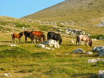 Wild horses. Group of wild horses grazing on a grassy hill Stock Photos