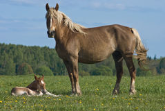 Wild horses. Mare and foal on a green meadow Royalty Free Stock Photos
