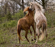 Wild Horses. Two Arabian three year old gelding having a power struggle Royalty Free Stock Photos