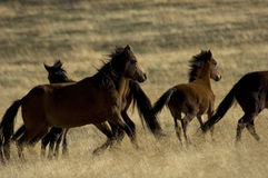Wild Horses About To Run Royalty Free Stock Images