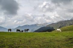 Wild horses at Ali Bugyal. A view of wild horses grazing at Ali Bugyal Stock Images