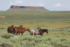 Wild Horses. Along Pilot Butte scenic loop in Wyoming royalty free stock image