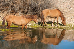 Wild Horses Along the Salt River Royalty Free Stock Photo