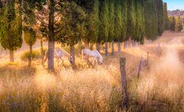 Wild horses amongst cypress trees Stock Images