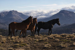 Wild horses. In the Andes Mountains stock photo