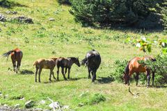 Wild horses in Aran valley in the Catalan Pyrenees, Spain. Wild horses in Aran valley in the Catalan Pyrenees, in the north of catalonia. Spain Stock Image
