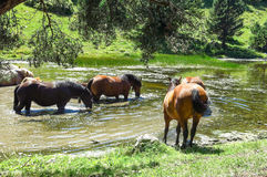 Wild horses in Aran valley in the Catalan Pyrenees, Spain. A group of wild horses eat algae in a pond in the Catalan Pyrenees, Spain. The main crest of Pyrenees Stock Image