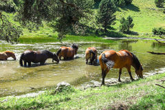 Wild horses in Aran valley in the Catalan Pyrenees, Spain. A group of wild horses eat algae in a pond in the Catalan Pyrenees, Spain. The main crest of Pyrenees Royalty Free Stock Images