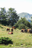 Wild horses in Aran valley in the Catalan Pyrenees, Spain. The main crest of Pyrenees forms a divide between France and Spain, with the microstate of Andorra Stock Photography