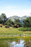 Wild horses in Aran valley in the Catalan Pyrenees, Spain. The main crest of Pyrenees forms a divide between France and Spain, with the microstate of Andorra Royalty Free Stock Photo
