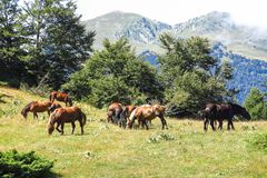 Wild horses in Aran valley in the Catalan Pyrenees, Spain. Wild horses in Aran valley in the Catalan Pyrenees, in the north of catalonia. Spain Stock Photos