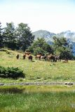 Wild horses in Aran valley. Catalonia, Spain Royalty Free Stock Images