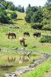 Wild horses in Aran valley, Catalonia, Spain. Wild horses in Aran valley in the Catalan Pyrenees, Spain Stock Photography