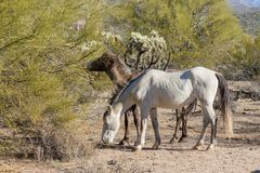 Wild Horses in Arizona Desert Royalty Free Stock Photography