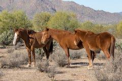 Wild Horses in the Arizona Desert. A herd of wild horses near the Salt River in the Arizona desert Stock Photography
