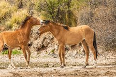 Wild Horses in the Arizona Desert Stock Images