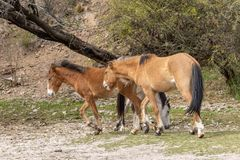 Wild Horses in the Arizona Desert Royalty Free Stock Image