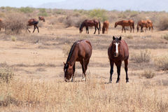 Wild Horses in the Arizona desert. Panorama of a  herd of wild horses grazing in the country desert of Arizona Royalty Free Stock Photography