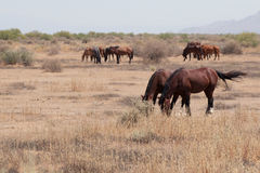 Wild Horses in the Arizona desert Stock Images