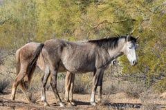 Wild Horses in the Arizona Desert. Wild horses near the Salt River in the Arizona desert Stock Photos