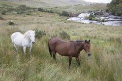 Wild Horses at Ashleigh Falls, Leenane; Connemara Royalty Free Stock Images