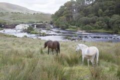 Wild Horses at Ashleigh Falls, Leenane; Connemara; Galway Royalty Free Stock Image