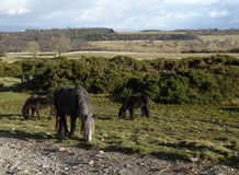 Wild Horses on Askham Fell 1 Royalty Free Stock Photography