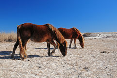 Wild Horses in Assateague Royalty Free Stock Photography
